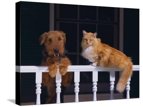 House Cat and Airedale Terrier-DLILLC-Stretched Canvas Print