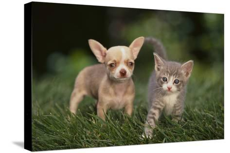 Chihuahua Puppy and a Kitten-DLILLC-Stretched Canvas Print