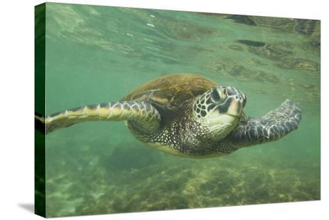Green Sea Turtle-DLILLC-Stretched Canvas Print