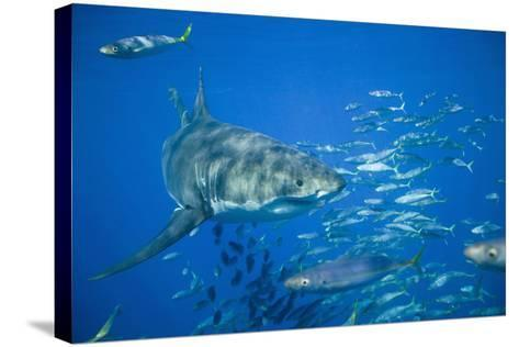 Great White Shark-DLILLC-Stretched Canvas Print
