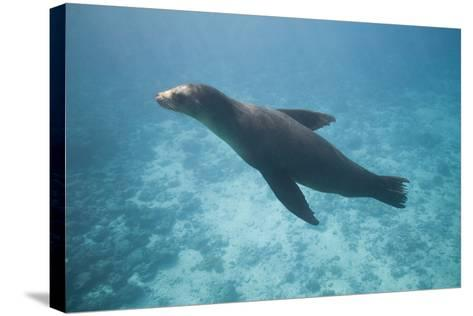 Sea Lion in the Ocean-DLILLC-Stretched Canvas Print