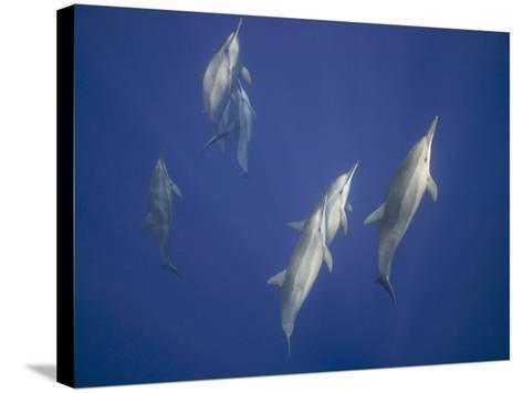Spinner Dolphins-DLILLC-Stretched Canvas Print