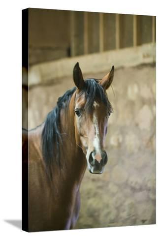 Quarter Horse with Blaze Marking-DLILLC-Stretched Canvas Print