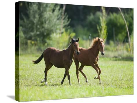 Pair of Peruvian Paso Colts-DLILLC-Stretched Canvas Print