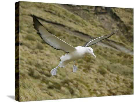 Southern Royal Albatross-DLILLC-Stretched Canvas Print