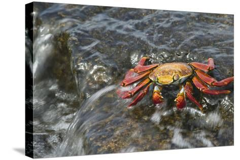 Sally Lightfoot Crab in Flowing Water-DLILLC-Stretched Canvas Print