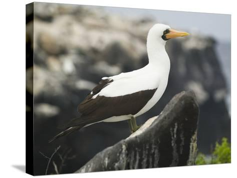 Nazca Booby-DLILLC-Stretched Canvas Print