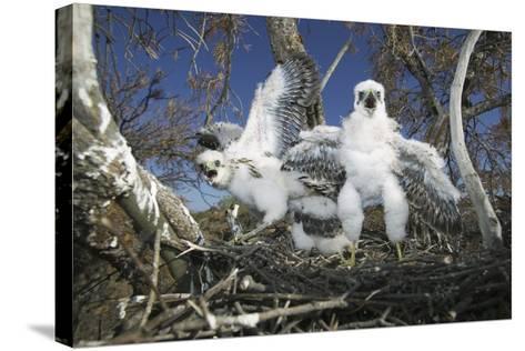 Cooper's Hawk-DLILLC-Stretched Canvas Print