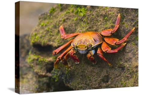 Sally Lightfoot Crab on a Rock-DLILLC-Stretched Canvas Print