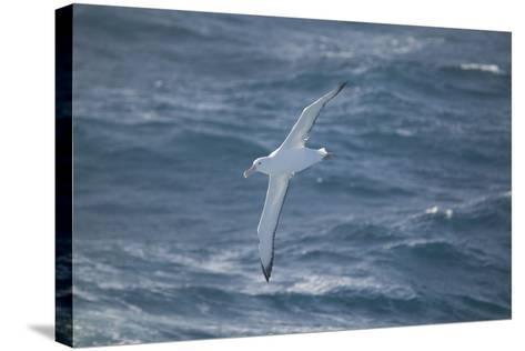 Wandering Albatross-DLILLC-Stretched Canvas Print