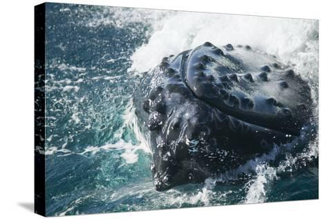 Barnacle Covered Mouth of Humpback Whale-DLILLC-Stretched Canvas Print