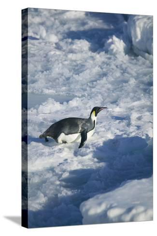 Emperor Penguin on His Belly-DLILLC-Stretched Canvas Print