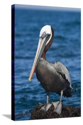 Brown Pelican-DLILLC-Stretched Canvas Print