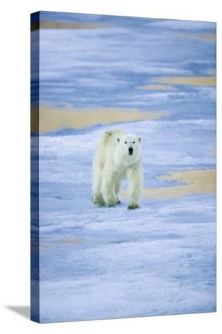 Polar Bear on Sea Ice-DLILLC-Stretched Canvas Print