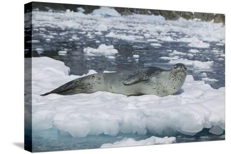 Leopard Seal Looking Up-DLILLC-Stretched Canvas Print