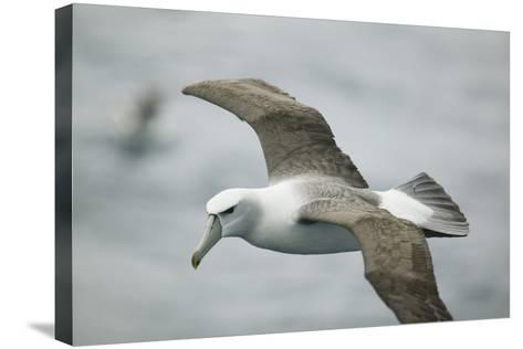 White-Capped, or Shy Albatross, in Flight-DLILLC-Stretched Canvas Print