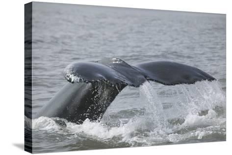 Powerful Tail of a Humpback Whale-DLILLC-Stretched Canvas Print
