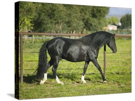 Peruvian Paso Stallion Walking by Fence-DLILLC-Stretched Canvas Print