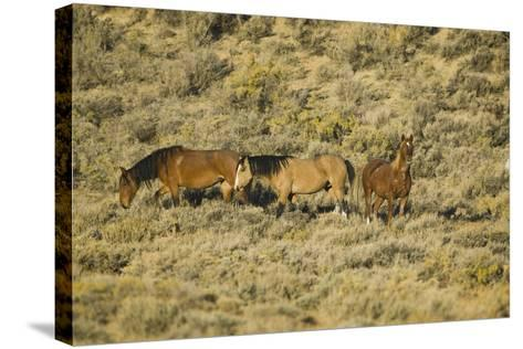 Wild Horses on the Range-DLILLC-Stretched Canvas Print