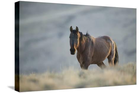 Gaunt Wild Horse on the Range-DLILLC-Stretched Canvas Print