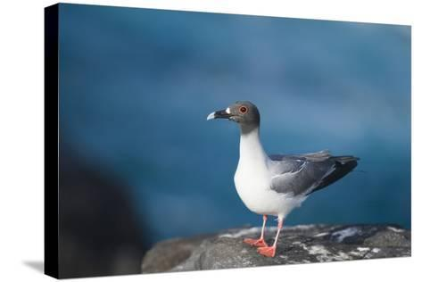Swallow-Tailed Gull-DLILLC-Stretched Canvas Print