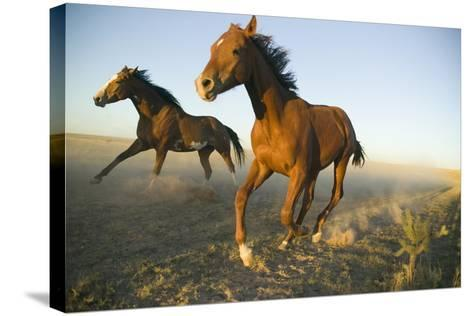 Quarter Horses Running in Field-DLILLC-Stretched Canvas Print