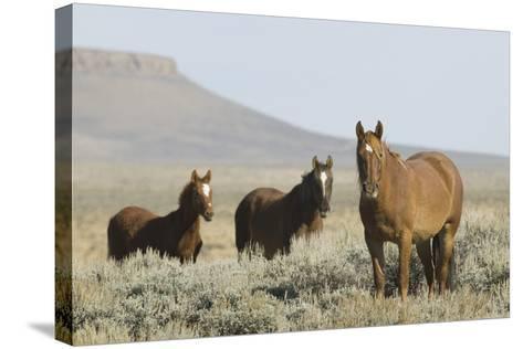 Wild Horses on Prairie-DLILLC-Stretched Canvas Print