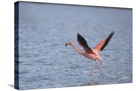 American Flamingo-DLILLC-Stretched Canvas Print
