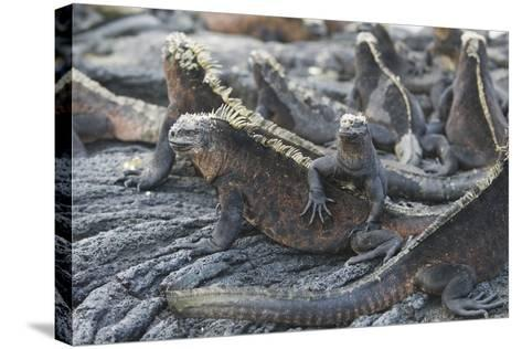 Marine Iguanas-DLILLC-Stretched Canvas Print
