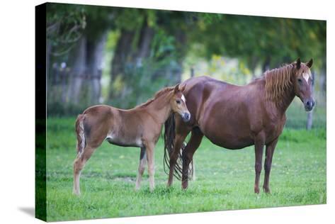 Peruvian Paso Colt with Quarter Horse Mare-DLILLC-Stretched Canvas Print