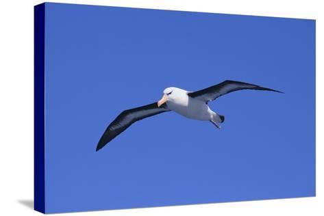 Black-Browed Albatross in Flight-DLILLC-Stretched Canvas Print