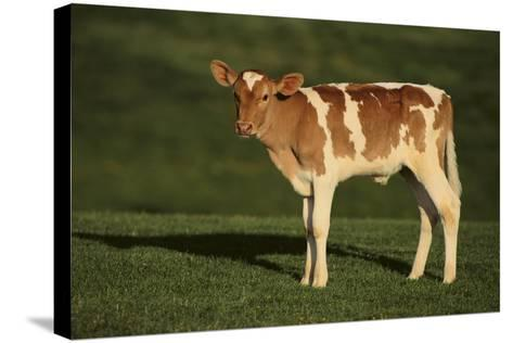 Holstein-Jersey Mix Calf-DLILLC-Stretched Canvas Print
