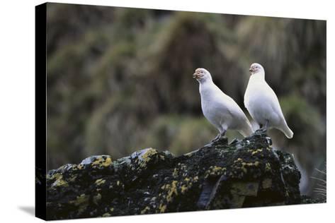 Two Sheathbill on a Rock-DLILLC-Stretched Canvas Print