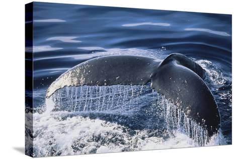 Humpback Whale's Tail Fluke-DLILLC-Stretched Canvas Print