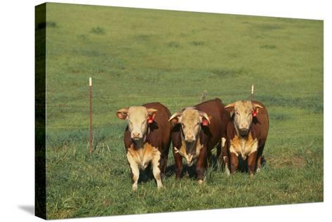 Hereford Cattle-DLILLC-Stretched Canvas Print