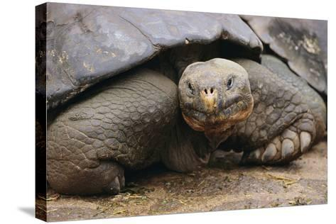 Galapagos Tortoise-DLILLC-Stretched Canvas Print