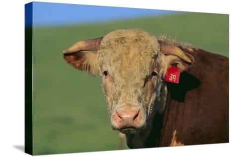 Hereford Bull-DLILLC-Stretched Canvas Print