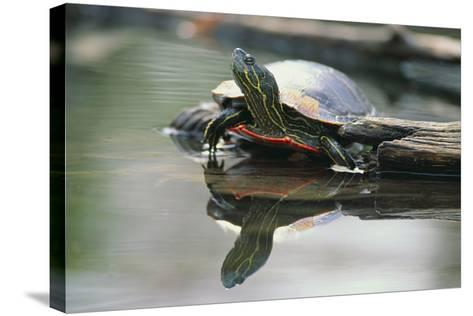 Western Painted Turtle Reflected in Pond Water-DLILLC-Stretched Canvas Print