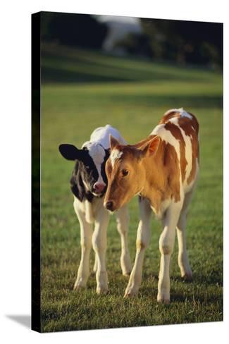 Holstein-Jersey Mix Calf and Holstein Calf-DLILLC-Stretched Canvas Print