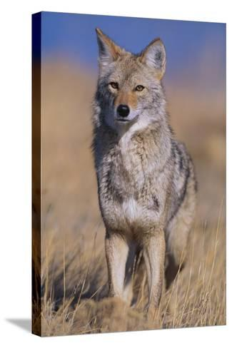 Coyote-DLILLC-Stretched Canvas Print