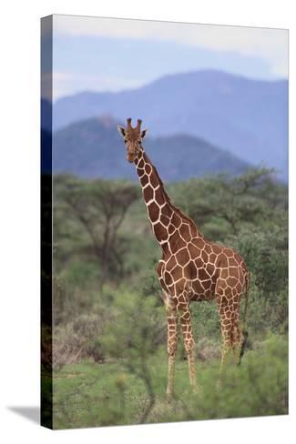 Giraffe-DLILLC-Stretched Canvas Print