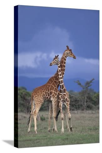 Giraffe Couple-DLILLC-Stretched Canvas Print