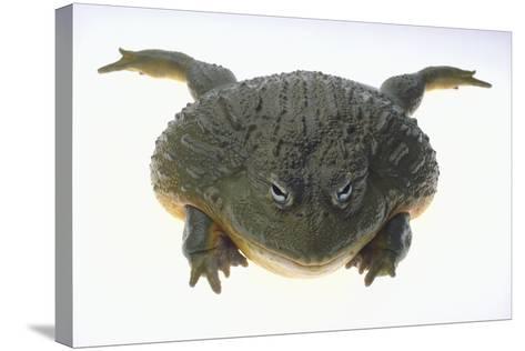 African Bullfrog-DLILLC-Stretched Canvas Print