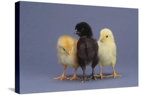 Rhode Island Red, Black Sex-Link and Leghorn Chicks in a Row-DLILLC-Stretched Canvas Print