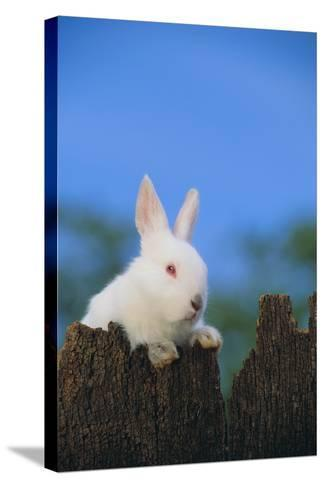Bunny Peeking over a Fence-DLILLC-Stretched Canvas Print