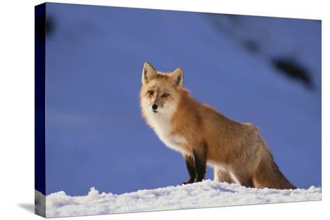 Red Fox-DLILLC-Stretched Canvas Print