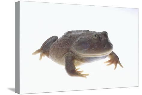 Budgett's Frog-DLILLC-Stretched Canvas Print
