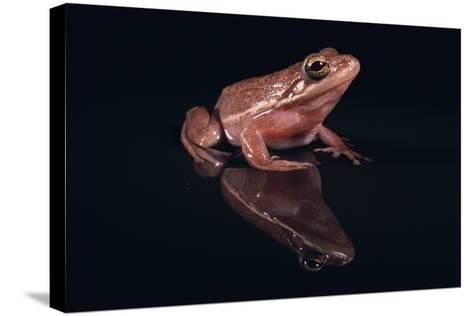 Gray Tree Frog-DLILLC-Stretched Canvas Print