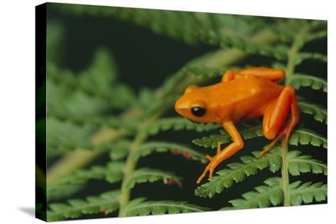 Mantella Aurantiaca-DLILLC-Stretched Canvas Print