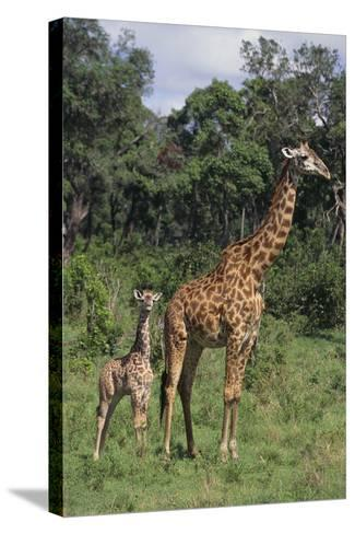 Giraffe Parent and Young-DLILLC-Stretched Canvas Print